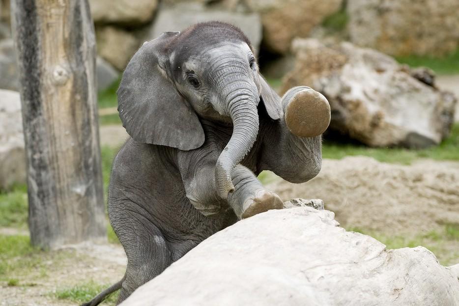 ein kleiner elefant als gro223er besucherliebling