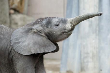 Wie trompeten Elefanten? – Tiergarten Schönbrunn