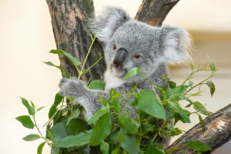 Koala Tiergarten Schonbrunn