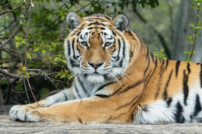 Tiger Fotos
