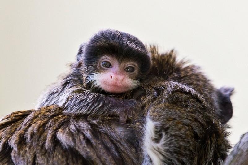 Auch Affen Nachwuchs Tragt Bart Tiergarten Schonbrunn