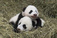 Diary Of The Panda Twins Tiergarten Schönbrunn