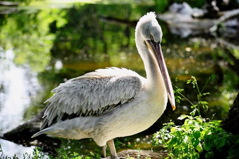 Arabské veľké vtáky Celebrity veľké kohúty