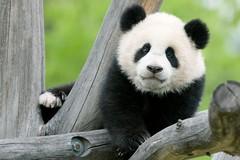 die gro en pandas in sch nbrunn tiergarten sch nbrunn. Black Bedroom Furniture Sets. Home Design Ideas