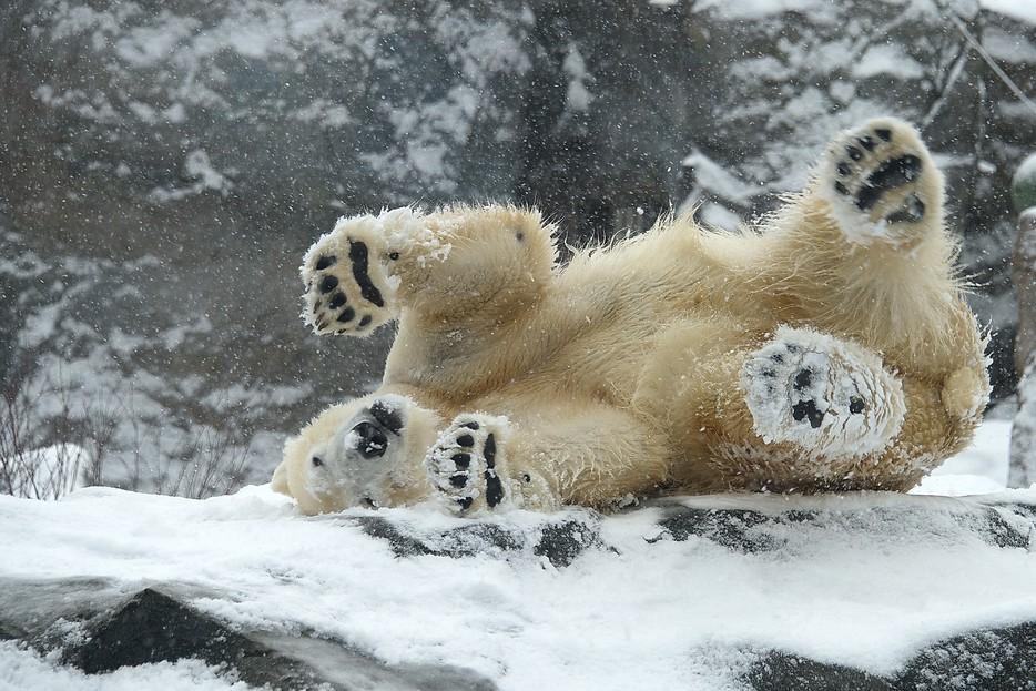 Foto Eisbär