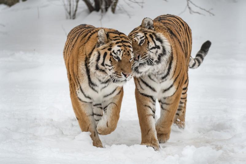 Sibirischer Tiger Tiergarten Schönbrunn