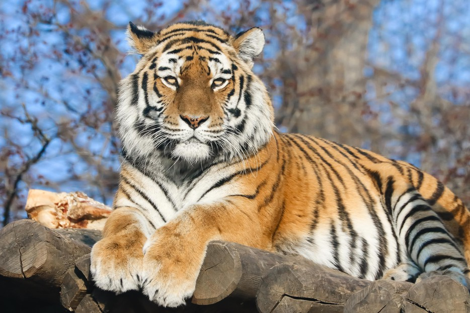Tiger Bilder
