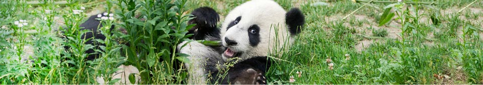 Panda lying in the grass